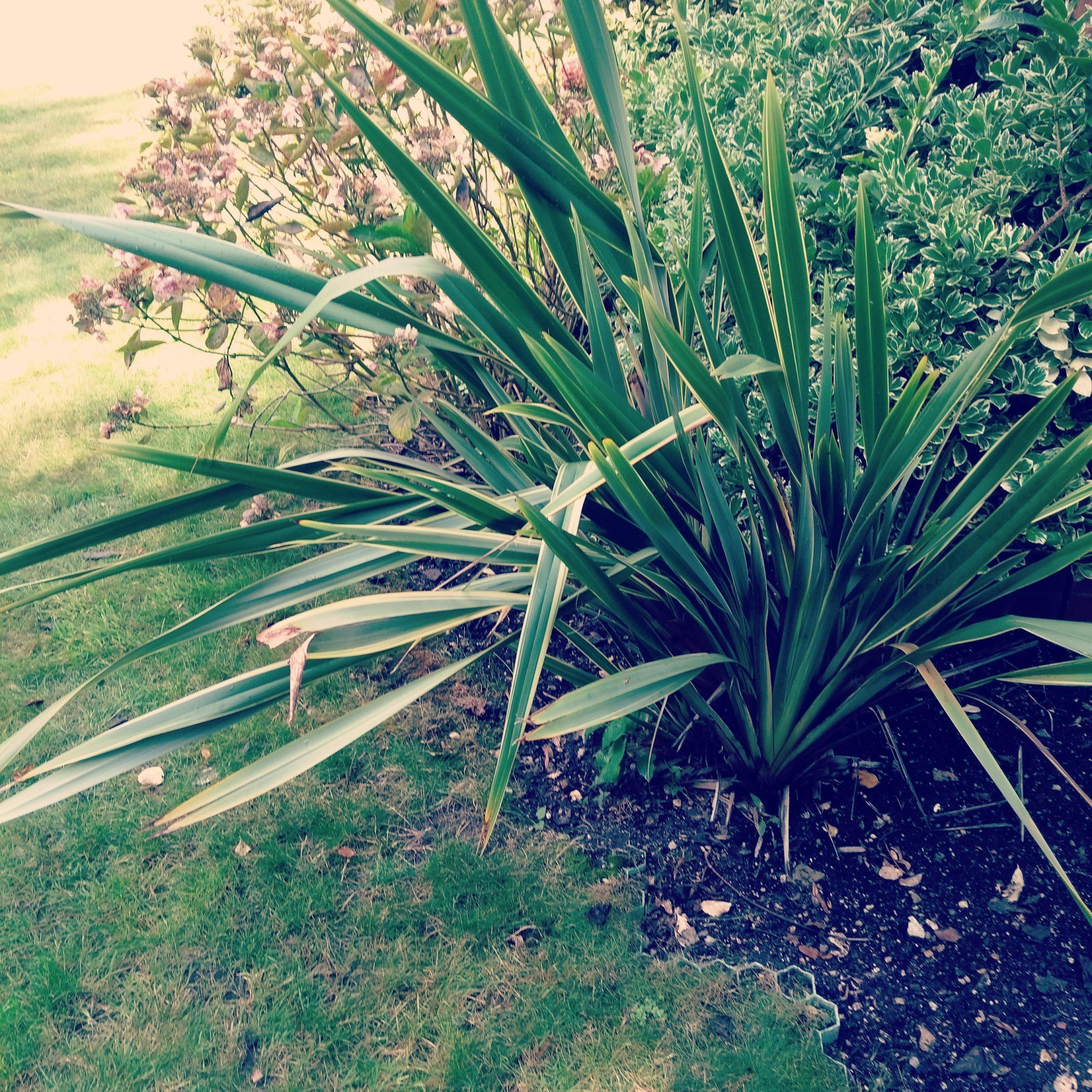 Phormium plant garden