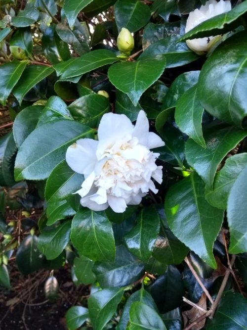 Camellia grow and prune