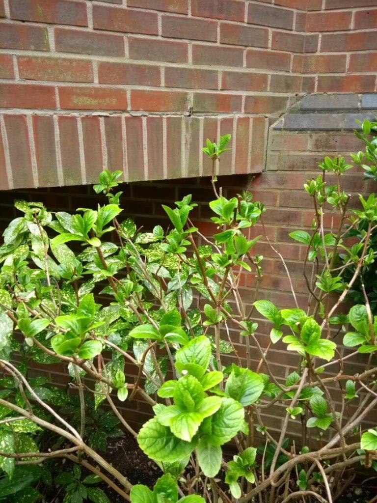 hydrangea gardening