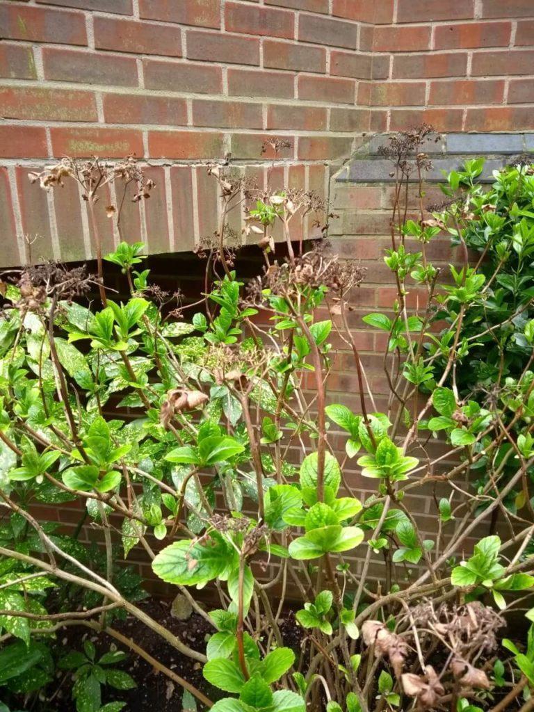 hydrangea gardener